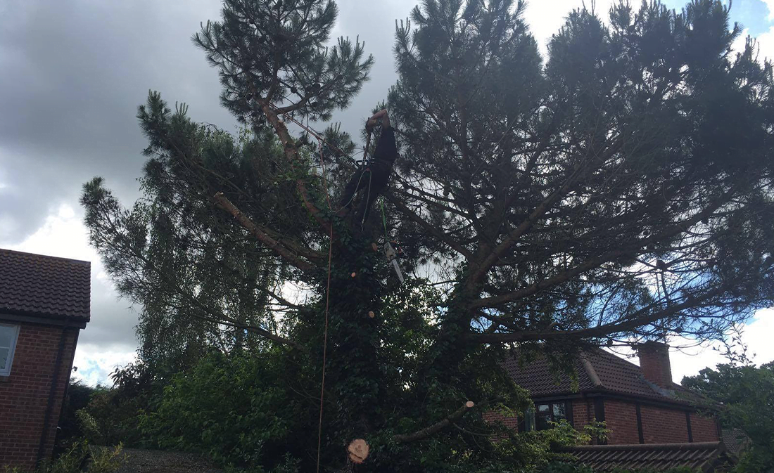 Maritime Pine Tree Removal