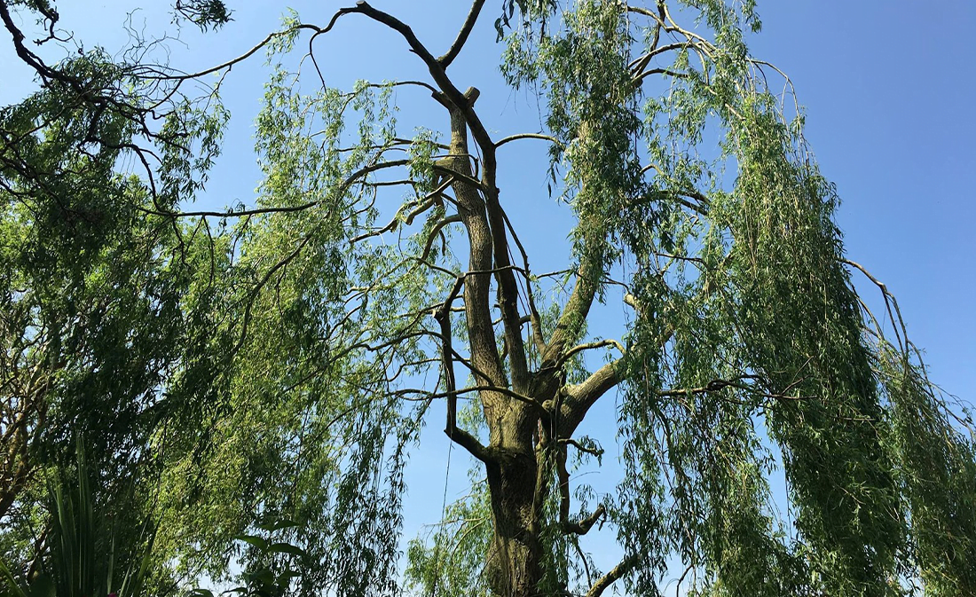 Willow Tree Reduction